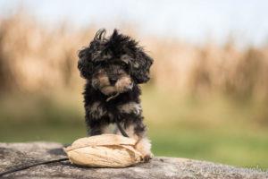 Hopkinsville Puppy Trainer